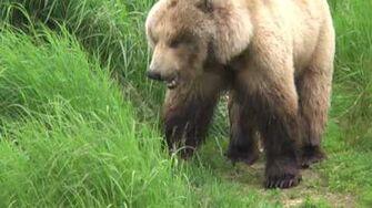 Alaska 20120706 14 Bear eats grass by endoplasmic1357