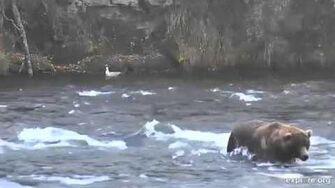 Katmai Park Brooks Falls Otis - 480 Fishes Brooks Falls 10 9 15 by JBirdyHome