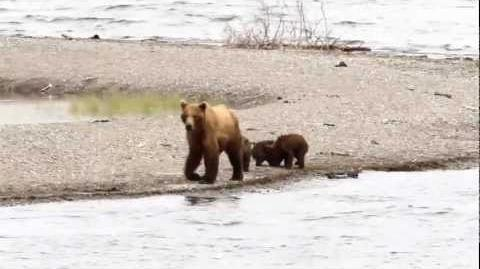 Brooks Lodge, Katmai - Grizzly (Brown) Bears Fishing and Bear with Cubs July 12, 2011 by Mark Nicholas-0