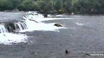 503 mating 900, 747 finally notices then follows sow around falls 7 18 2019 by Lani H-2