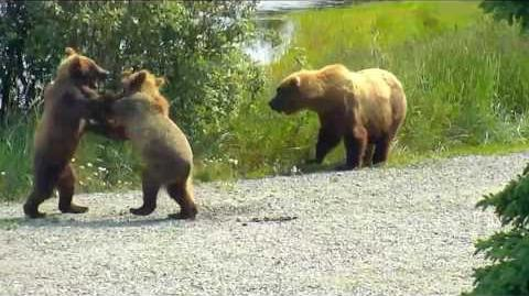 153 with her cubs on LR ~ 2017 07 14 video by Victoria White