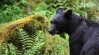 Alaska Bears 2017 by Jon Rayeski