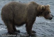 BEADNOSE 409 PIC 2017.07.19 NPS PHOTO ROUND 2 2017 FAT BEAR WEEK