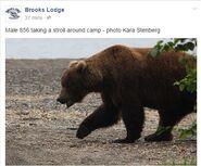 INFO BEARS SEEN 2015.06.11 07.45 BL FB 856 TAKING STROLL KARA STENBERG