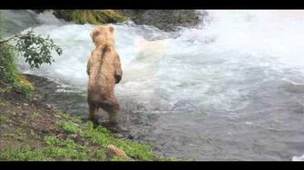 Alaska Bears - Brooks Falls 2010 Season or prior by Cathy Beck