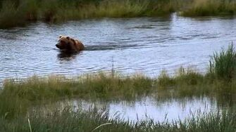 Female bear splashing around in the river, video by MSO Belle, 6 29 2015 or prior
