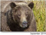 NOSTRIL BEAR 813 PIC 2014.09.xx NPS PHOTO 2015 BoBr PG 46 03
