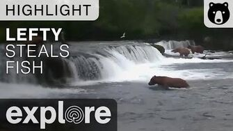 Lefty the Fish Thief of Brooks River - Alternate view - Live Cam Highlight, video by Explore Bears and Bison