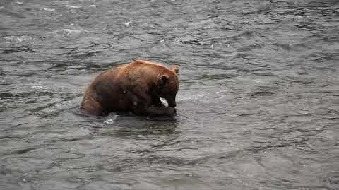Playful Bear, Catch-and-Release, Brooks Falls, Katmai National Park-0