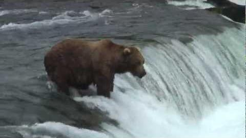 Huge Brown bear catches flying salmon