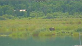 Female subadult bear 831(?) Salt LR Brooks Falls Katmai 2018 07 30 by Erum Chad (aka Erie) (believed to possibly be 831)