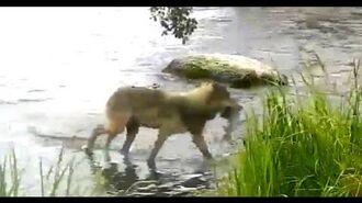 Wolf gets a salmon. Explore.org 03 July 2020 by Arlene Beech (aka Homebird)