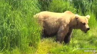 128 Grazer, first bear seen of 2019 on falls cam 6 21 2019 by Lani H