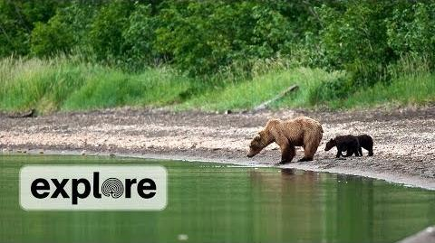 402 and her yearling cub are reunited July 1, 2014 Explore Highlight video