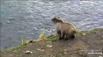 Possibly bear 284's emancipated cub subadult bear Brooks Falls 2018 07 30 by Erum Chad (aka Erie)