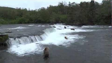 Brooks Falls, Katmai NP, Alaska video compilation 27-07-2012 by mouzzer