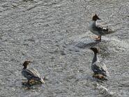 Mergansers at Brooks Falls June 13, 2020 NPS photo by Ranger Naomi Boak