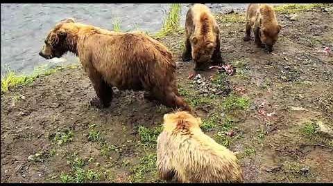 Bear 451 and cubs during 2018 season by Deanna Dittloff (aka deelynnd)