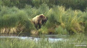Unknown sow (6 30) with coy by the oxbow 7 2 2020, video by Lani H