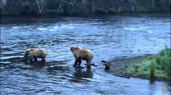 708 and family at Brooks Falls June 23, 2017 approx 06 00 AKDT video by Flyer 7474 (aka SteveCA)