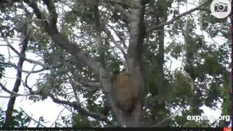 Treed abandoned bear (402's cub), video by Various Videos1 (aka LucyB-MA)