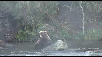 Subadult resting on rock at falls 9 27 2018 by Lani H (720? 820?)-0