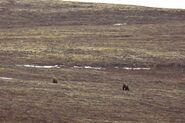 INFO BEARS SEEN 2015.05.20 or BEFORE RMIKE FEATURED COMMENT LR CAM 284 ELECTRA & UNIDd MALE COURTING PIC 02 ONLY