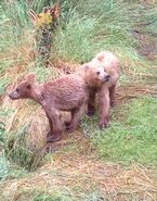 NOSTRIL BEAR 813 PIC 2015.07.22 HER 2 REMAINING YEARLINGS MOCHA POSTED 2016.05.18 16.24