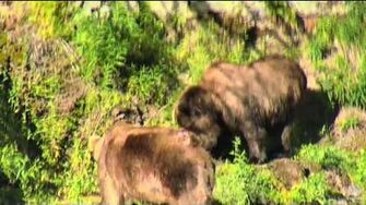 7;4?pm 6-28-16 747 chases???755 scare D bear bear up hill Katmai National Park and Explore by Mickey Williams-0