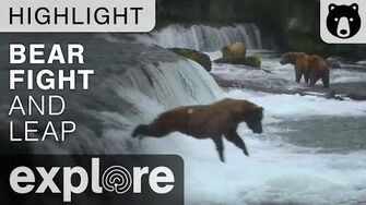 Bear Fight at Brooks Falls Then Bear Jumps Off Waterfall! - Live Cam Highlight, video by Explore Bears and Bison