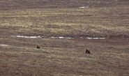 INFO BEARS SEEN 2015.05.20 COURTING BEARS ON DM - 284 ON LEFT PERHAPS