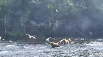 482 bluff charges 803 and takes her salmon 7 27 2019, video by Lani H