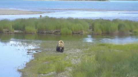 Chunky bear lower river 07072017 by Brenda D