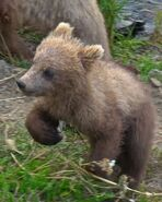 GRAZER 128 PIC 2016.07.16 - 2016.07.21 SMALLEST SPRING CUB TRUMAN EVERTS POSTED 2016.08.28 16.18
