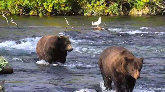Walker of Brooks River, 2017 Katmai National Park, Alaska by GreenRiver