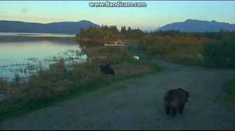 132 & Spring Cub are Alarmed as 409 Beadnose Waddles Past 2018-09-14 by Birgitt