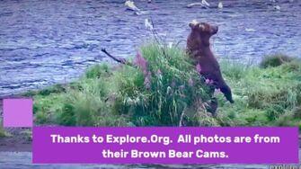 King of Brooks River, Bear 856, Katmai, Alaska, video by GreenRiver