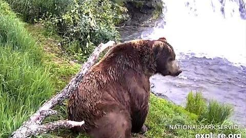 Portly 747 snacking at Brooks Falls. Katmai Brown Bears. 07