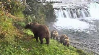 Who is this at the Fish Ladder? 9-19-2016 9 00 AM Alaska by JoniT 708 Amelia & yearlings