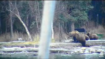 39 and her 3 on 2016-10-21 Lower River Cam-Brooks Falls, video by flyer 7474