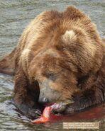 856 PIC xxxx.xx.xx 2018 BoBr PG 21 MONITORING BEARS EATING HIS CATCH