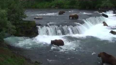 Grizzly Bears at Brooks Falls, Katmai National Park, Alaska, US 2008-1