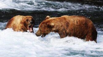 Grizzly Bears of Katmai National Park, Alaska - Brooks Falls, video by ncheel044-0