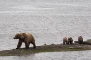 482 Brett and 3 spring cubs July 15, 2018 NPS photo by Ranger Russ Taylor.02