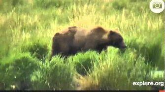 Alaska bear 402 and cub, video by Various Videos1 (aka LucyB-MA)
