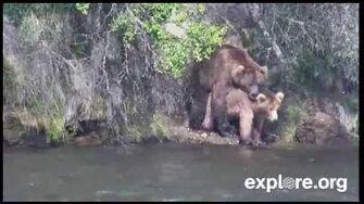 Popeye bear and Amelia bear mating 07-12-14 by JB Grace