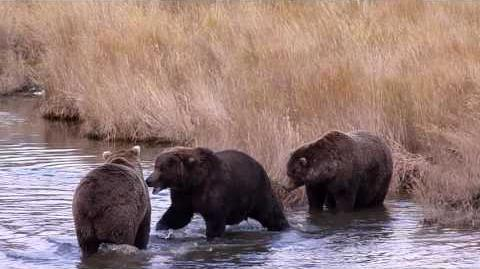 Three way play-fight between adult male bears October 4, 2014 68, 83 Wayne Brother & 868 Wayne Brother video by Mike Fitz-0