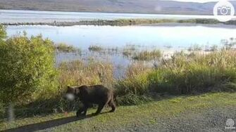 2 Unidentified sow with 3 coy's Sept 23, 2015 Brooks River Katmai National Park by Mickey Williams (504 with 3 spring cubs btb 821 831)-0