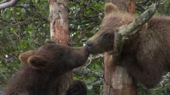 Brooks River bear cubs, video by Mark Emery