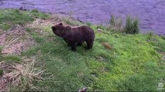6 30 pm 08 20 2016 mom??? and cubs Katmai National Park and Explore by Mickey Williams (504 w 2 yearlings)-0